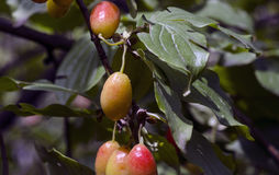 Dogwood Cornus Cornelian branch Cornus mas (Cornelian cherry, European cornel or dogwood) Bright red berries of cornel or dogwood Royalty Free Stock Photography