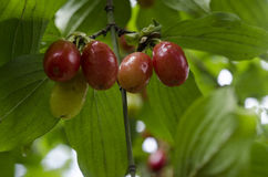 Dogwood Cornus Cornelian branch Cornus mas (Cornelian cherry, European cornel or dogwood) Bright red berries of cornel or dogwood Stock Photography