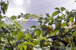 Dogwood Cornus Cornelian branch Cornus mas (Cornelian cherry, European cornel or dogwood) Bright red berries of cornel or dogwood Royalty Free Stock Image