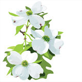 Dogwood (Cornus florida) Royalty Free Stock Image