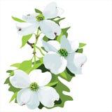 Dogwood (Cornus florida) royalty free stock image