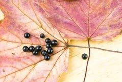 Dogwood Cornus Sanguinea. Dogwood berries arranged on a maple leaves Royalty Free Stock Photography