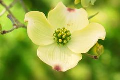 Dogwood di fioritura orientale Immagini Stock