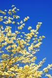 Dogwood di fioritura orientale Fotografie Stock