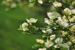 Dogwood di fioritura orientale - cornina Florida Immagini Stock