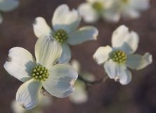 Dogwood di fioritura orientale (cornina Florida L.) Immagini Stock