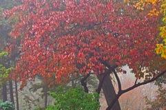 Dogwood do outono Imagem de Stock Royalty Free