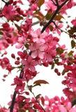 Dogwood in fioritura Fotografia Stock