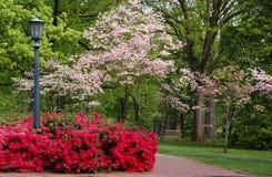 Dogwood floreciente y azaleas del resorte Imágenes de archivo libres de regalías