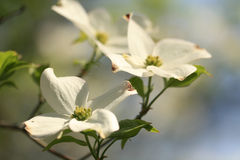 Dogwood flower. Dogwood tree in full bloom stock photo