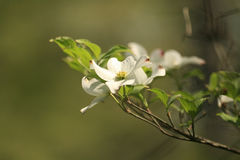 Dogwood flower. Dogwood tree in full bloom royalty free stock photo