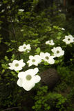 Dogwood flower Stock Photography