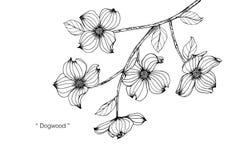 Dogwood flower drawing illustration. Black and white with line art. Dogwood flower drawing illustration. Black and white with line art on white backgrounds Stock Photo