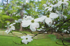 Dogwood Stock Photography
