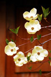 Dogwood flowers. White dogwood flowers against brown background Royalty Free Stock Photography