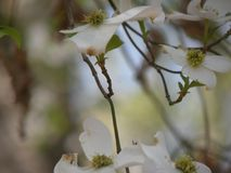 Dogwood flowers in bloom in the tree. A picture of several dogwood flowers in bloom in a tree Royalty Free Stock Photo
