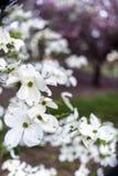 Dogwood flowers Stock Photography