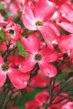 Dogwood flowers outdoors Royalty Free Stock Image