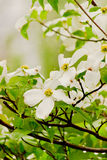 Dogwood Flowers Royalty Free Stock Photography