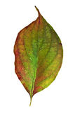 Dogwood Leaf Royalty Free Stock Images