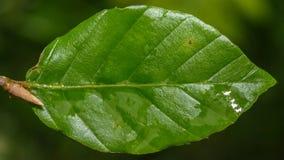 Dogwood Leaf A Royalty Free Stock Photography