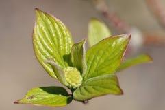 Dogwood leaves & flower bud Stock Image