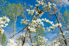 Dogwood Royalty Free Stock Image
