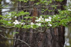 Dogwood and Pine trees of East Texas. royalty free stock photos