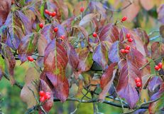 Dogwood red berries Royalty Free Stock Photos