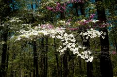Dogwood  & Redbud flowers Royalty Free Stock Photos