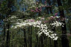 Dogwood  &  Redbud flowers Royalty Free Stock Photography