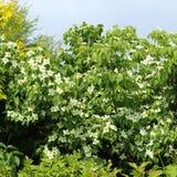 Dogwood shrub stock image