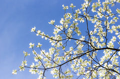 Dogwood Sky Royalty Free Stock Photo