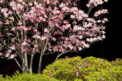 Dogwood and Spring Shrubbery Against Black Background Stock Photography