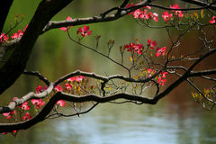 Dogwood Tree. A blossoming Pink Dogwood tree against a lake Royalty Free Stock Image