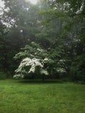 Dogwood Tree Imagen de archivo