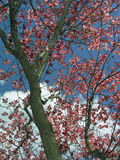 Dogwood tree. In bloom Stock Image