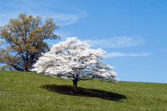 Dogwood Tree. In full bloom. Photographed in rural northern Virginia stock image