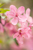 Dogwood Tree Bloom Close Up In Spring Stock Photo