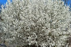 Dogwood Tree in Bloom. A dogwood tree in full bloom Stock Images