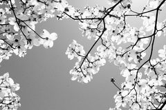 A dogwood tree. In bloom at springtime Stock Photos