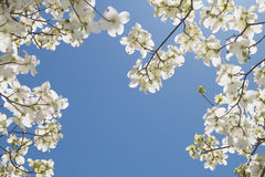 A dogwood tree. In bloom at springtime Royalty Free Stock Image