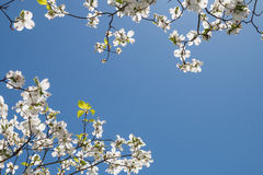 A dogwood tree. In bloom at springtime Royalty Free Stock Images