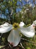 Dogwood flower royalty free stock photo