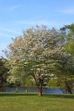Dogwood Tree. In blossom near lake in Spring Stock Image