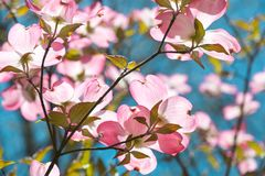 Dogwood tree blossom at springtime in park. Spring natural backg Stock Image