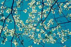 Dogwood tree blossom at springtime in park. Spring natural backg Stock Photo