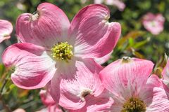 Dogwood tree blossom at springtime in park. Spring natural backg Stock Photos