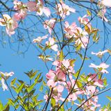 Dogwood tree blossom at springtime in park. Spring natural backg Royalty Free Stock Image