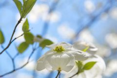 Dogwood tree blossom at springtime in park. Spring natural backg Stock Photography
